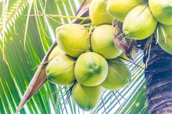 Pohon Kelapa dengan buahnya